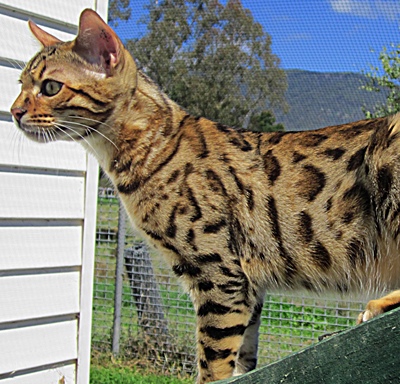 Bengal cat for sale vic